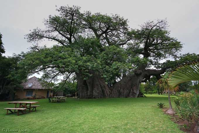 The Sunland 'Big Baobab' is in Modjadjiskloof in Limpopo Province, South Africa